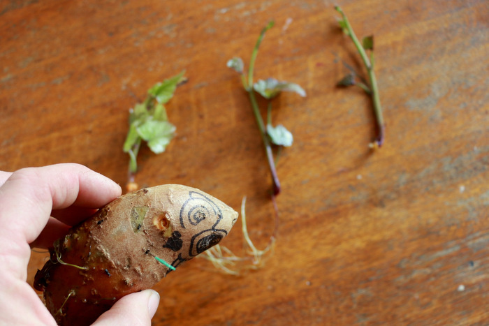 How to grow sweet potato slips 3. Little eco footprionts