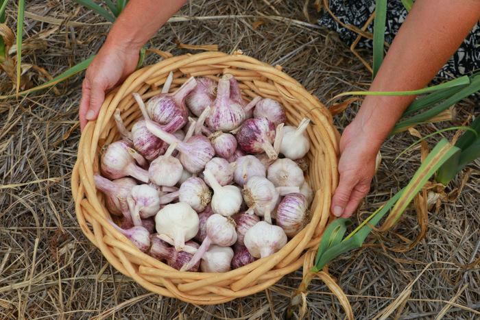 Pokolbin Purple garlic. Hunter Valley. Australian Garlic. Little Eco Footprints