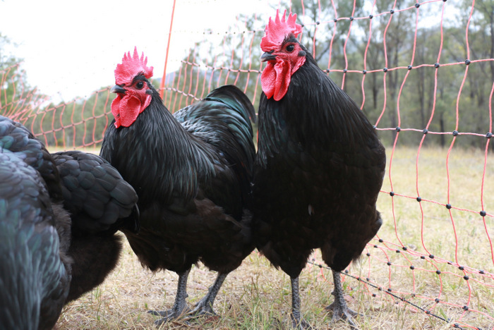 Our roosters Limpy and Roostie. Understanding the true cost of cheap food. Little eco footprints