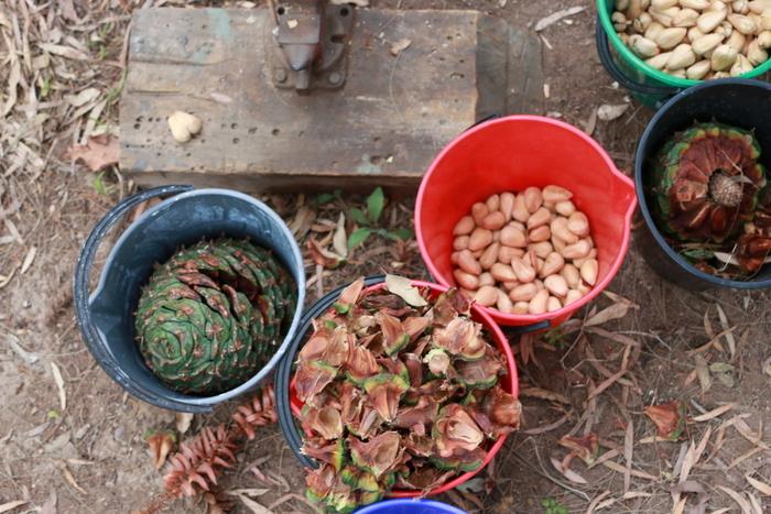 Foraging australian native nunya nuts. little eco footprints