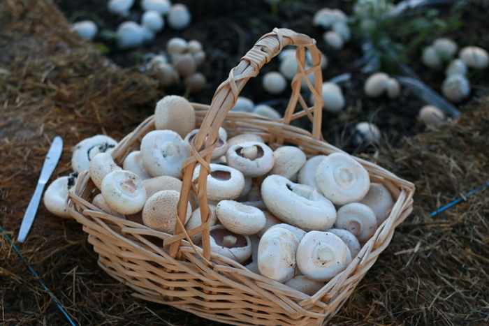 Generosity breeds generosity. A basket of homegrown mushrooms recentlly gifted to a friend to say thank you for a gift they gave us. Little eco footprints
