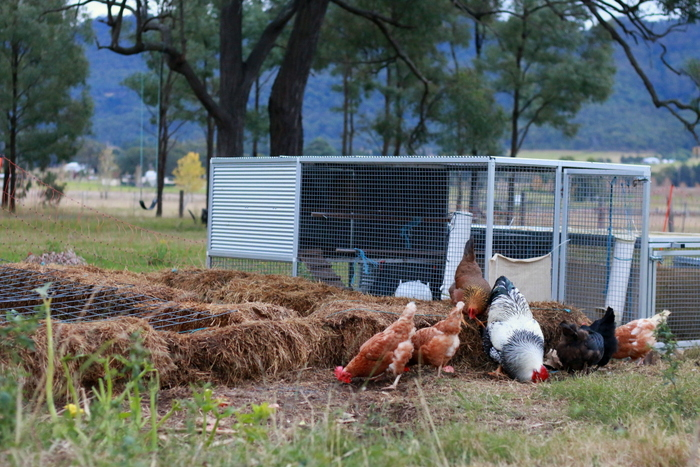 Chicken tractor - a great example of saving time by function stacking. Little eco footprints