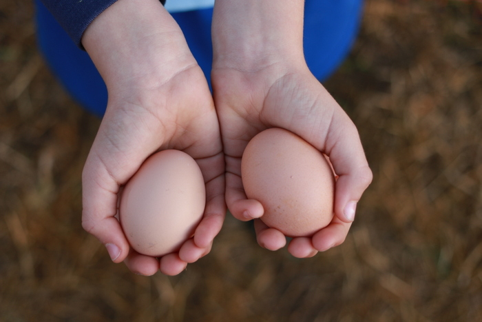 How to encourage chickens to lay - naturally. Little eco footprints