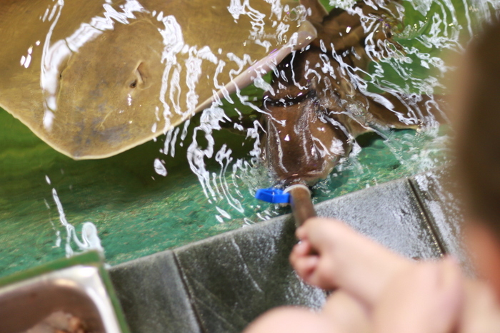 Irukandji Shark and Ray Encounters aqua nursery pool shark and ray feeding2_ Little eco footprints