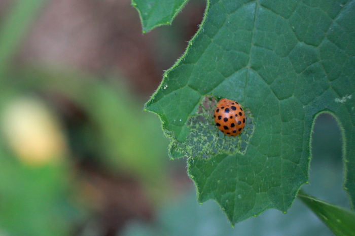 A bad guy munching on my zuchinni leaves - a 28-spotted ladybird. Tricia Hogbin