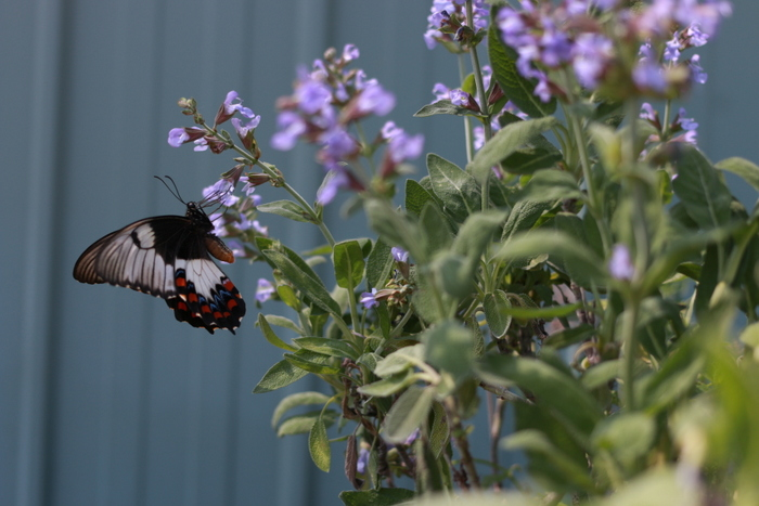 How_to_attract_butterflies_to_your_garden_Swallowtail_on_sage_Little_eco_footprints