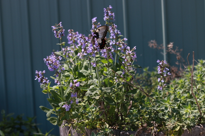 How_to_attract_butterflies_to_your_garden_Swallowtail_on_sage_Little_eco_footprintsB