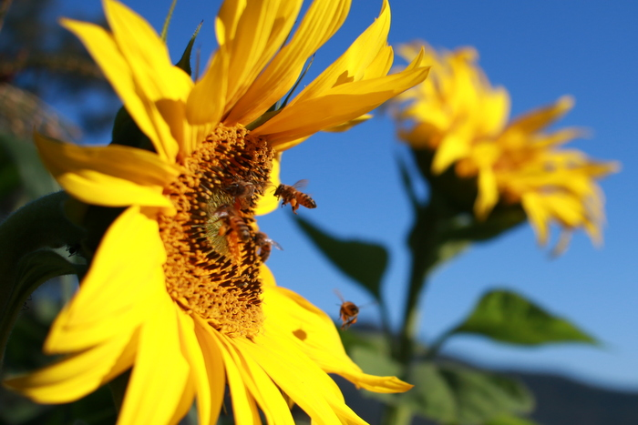 Sunfower_and_bees_Little_eco_footprints
