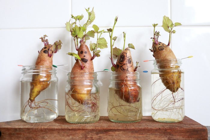 How to grow sweet potato slips 2. Little eco footprionts