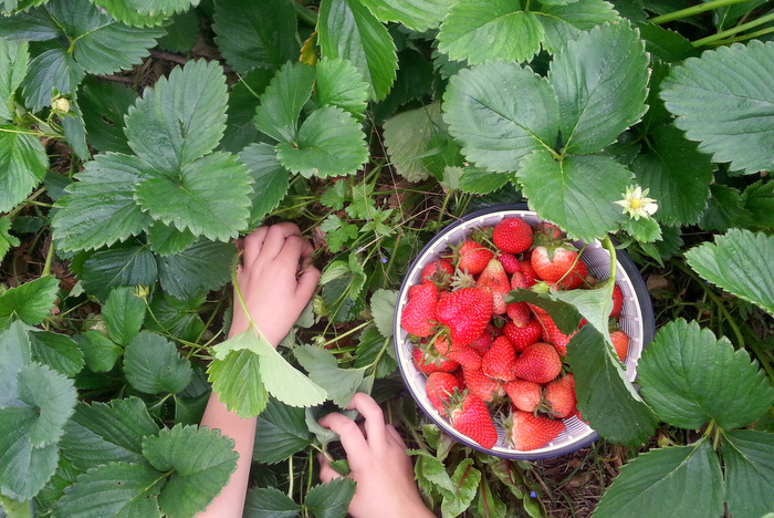 How to grow backyard organic strawberries. Little eco footprints.