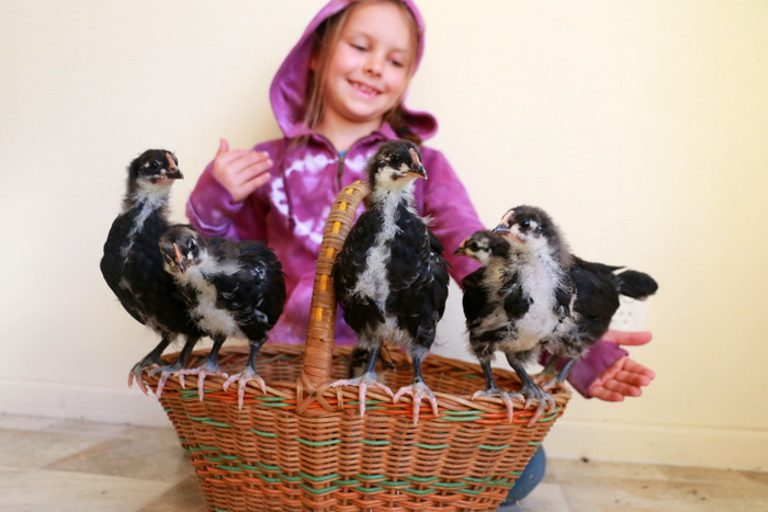 Australorp chickens at three weeks old. Little eco footprints
