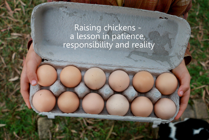 Raising chickens from eggs. Little eco footprints