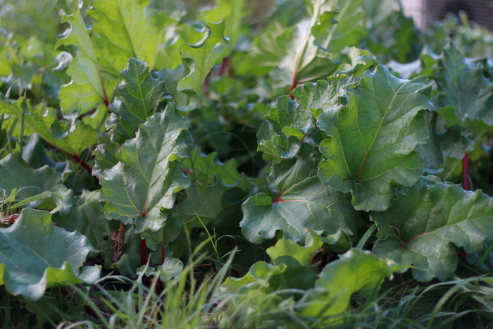 How to grow rhubarb. Little eco footprints