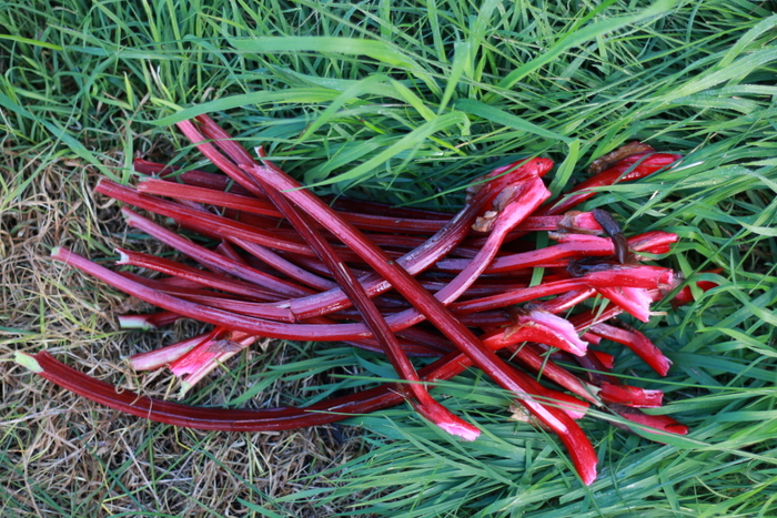 Gran's Red Rhubarb. Little eco footprints