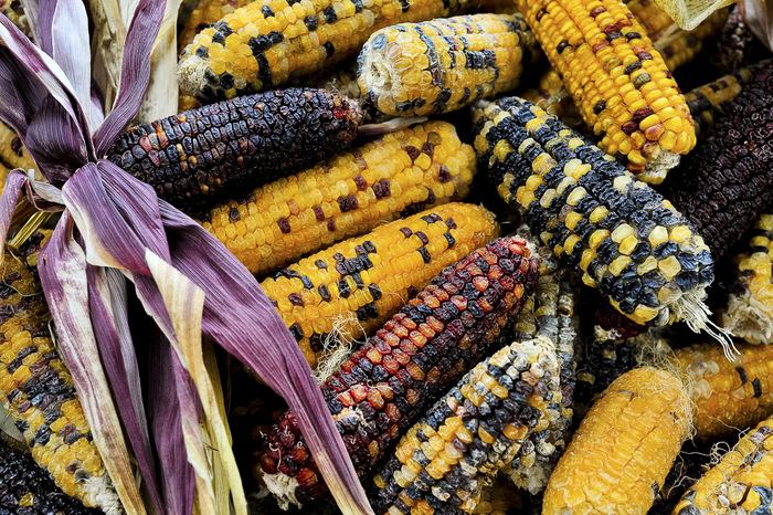Anasazi Sweet Corn. An amazing ancient multi coloured sweet corn grown by Greenpatch as part of their Corn Maize conservation project. Karl Bayer