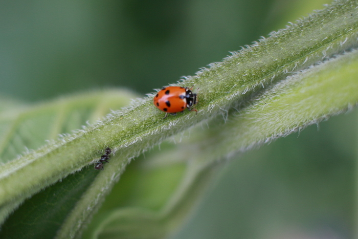 A good guy - the spotted amber ladybird. Little eco footprints