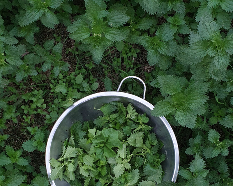 Nettle plant ally